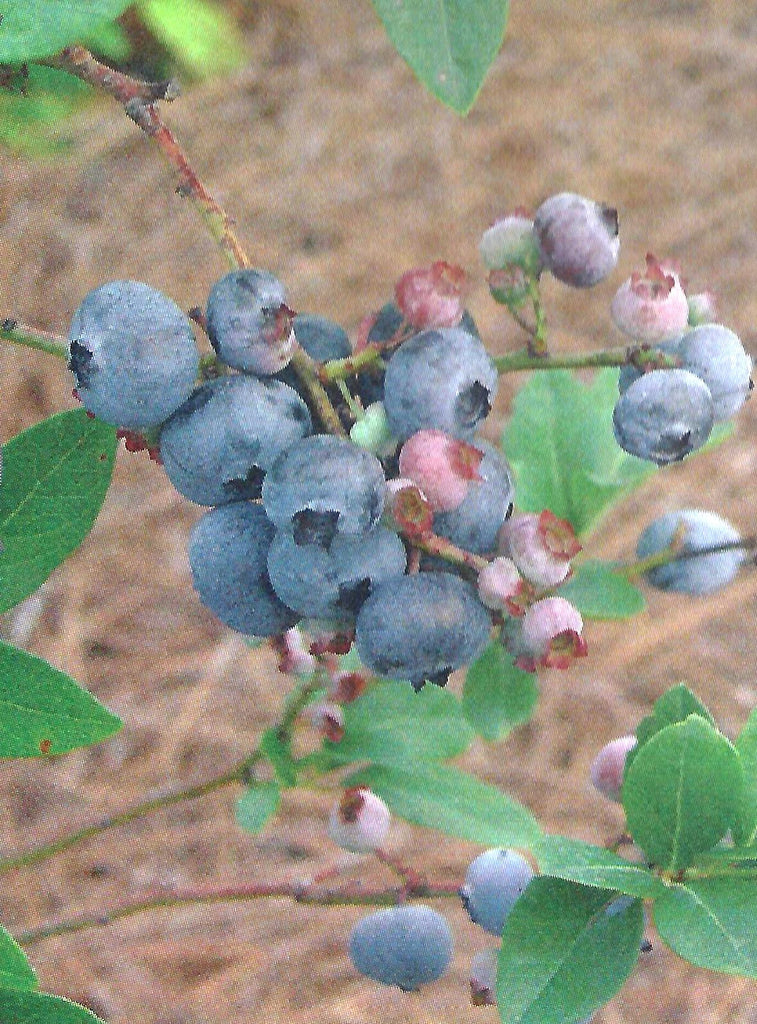 Home Bell Blueberry Plants