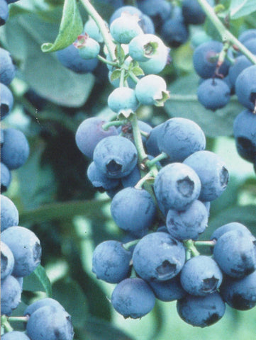Powder Blue Blueberry Plants