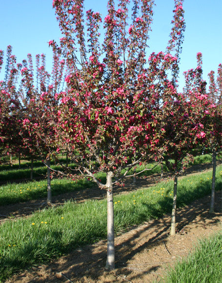 Crabapple Centurion Trees