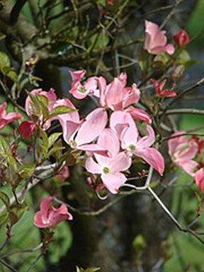 Pink Dogwood Flowering Trees