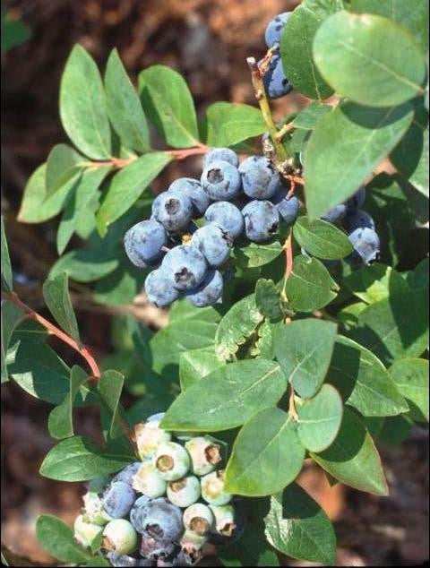 Blueberry - Sweet Crisp (Southern Highbush)