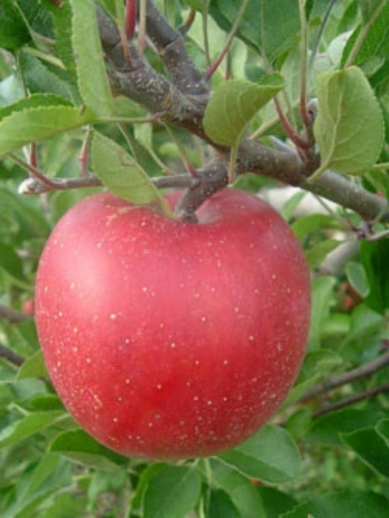 Melrose Red Apple Tree