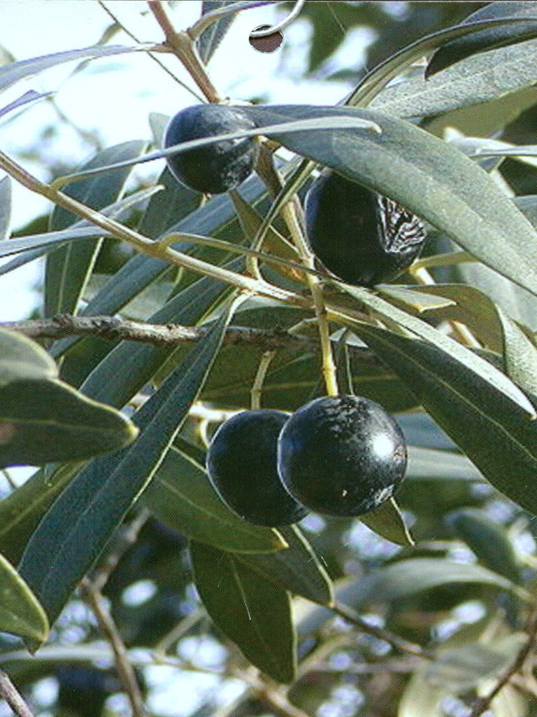 Arbequina Olive Trees
