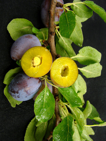 Damson Plum Trees | Fruit Trees