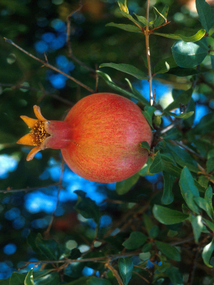 Russian 26 Pomegranate Trees | Fruit Trees