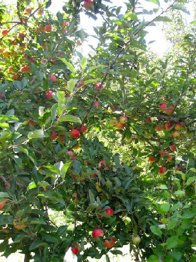 Apple Trees - Red Delicious
