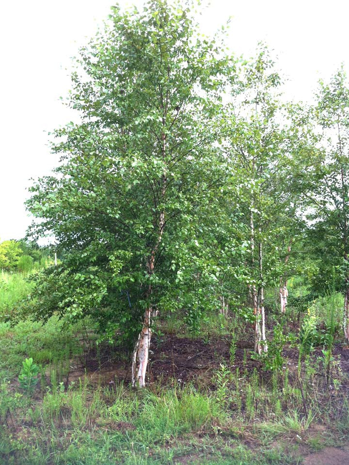 Popular Landscape Tree - Heritage River Birch Deciduous Trees