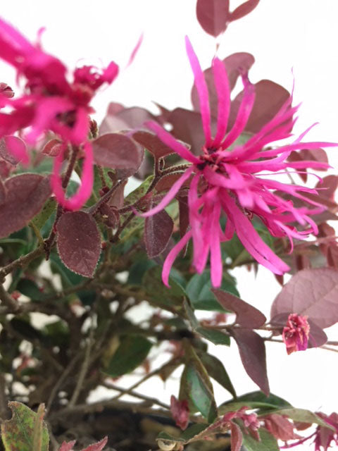 Loropetalum - Ruby