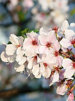 Cherry - Yoshino (Flowering)