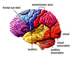 brain-atrophy-Audicus-hearing-aids