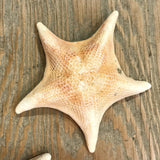 Bat Starfish Specimen 3-4""