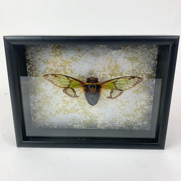 Loved To Death Green Wing Cicada In Shadowbox