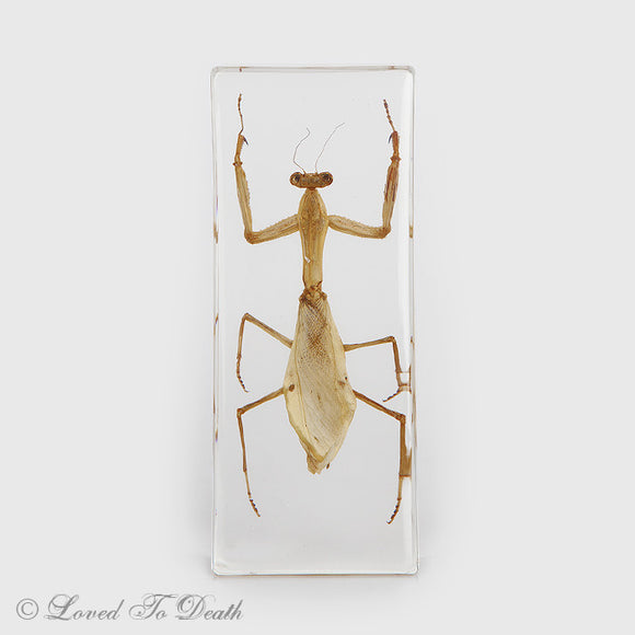Praying Mantis Insect Specimen In Lucite