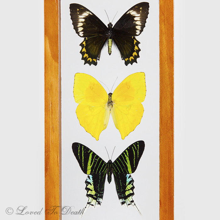 5 butterflies framed in natural or black double glass frame - Double Glass Picture Frame
