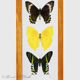 5 Butterflies Framed in Natural or Black Double Glass Frame