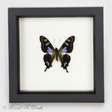Purple Mountain Swallowtail Butterfly Specimen In Black Shadow Box Frame