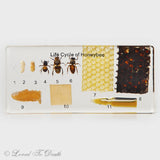 Life Cycle of Honeybee In Lucite Large