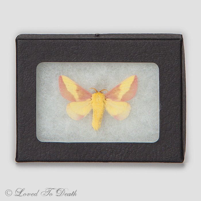 Rosey Maple Moth Specimen in Riker Mount
