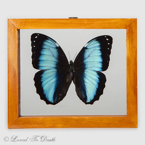 Blue Banded Morpho Framed Natural Wood