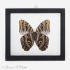 Owl Moth Double Glass Framed Wood Black