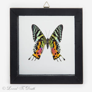 Sunset Moth Specimen Double Glass Framed Wood Black
