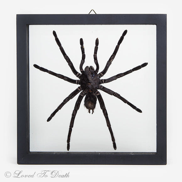 Tarantula Specimen In Double Glass Black Frame