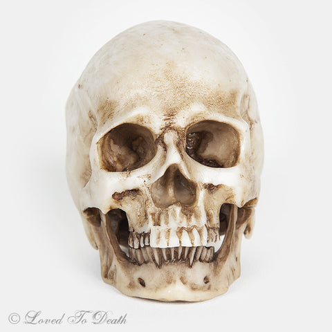 Small Anatomical Resin Human Skull