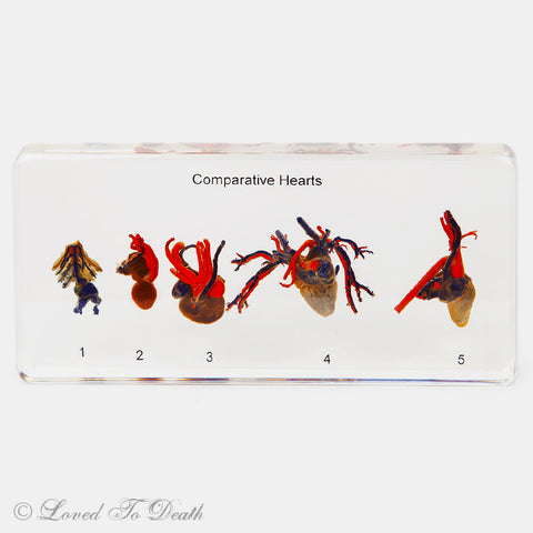 Comparative Hearts in Lucite Specimen