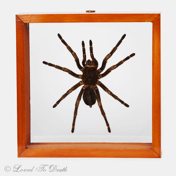 Tarantula Specimen In Double Glass Natural Frame
