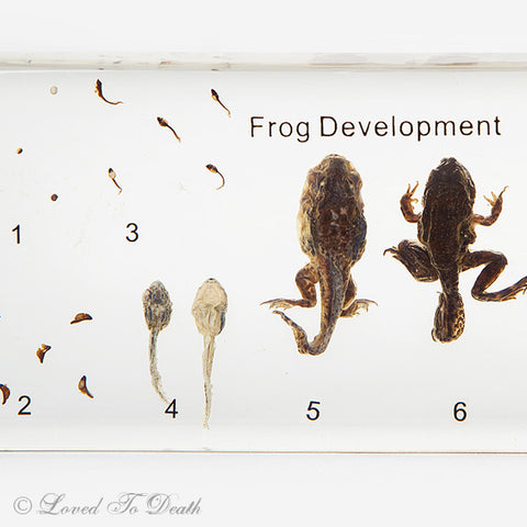 Life Cycle of a Frog Lucite Specimen