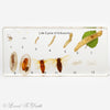 Life Cycle of Silkworm In Lucite Large