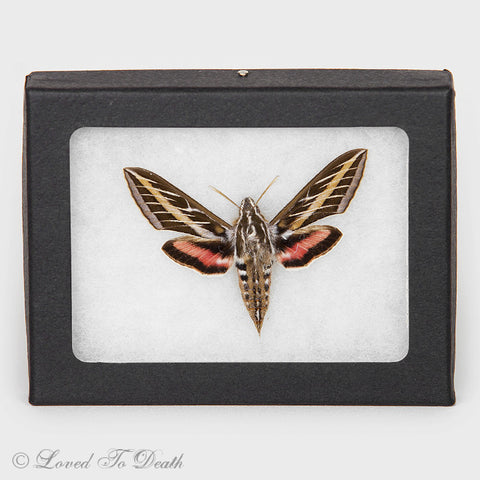 Pink White Lined Sphinx Moth Riker Mount