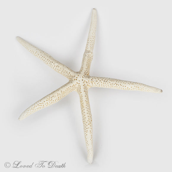 Spiny White Starfish Specimen