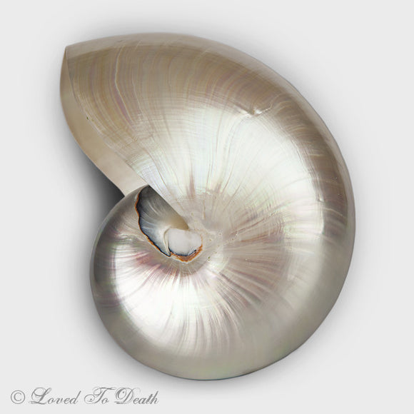 Pearlized Nautilus Shell