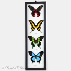 Four Butterfly Red, Yellow, Green Blue Swallowtail Specimens Framed
