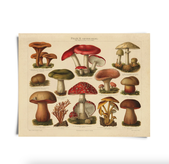 Vintage Botanical Mushroom German Pilze Antique Repro Print