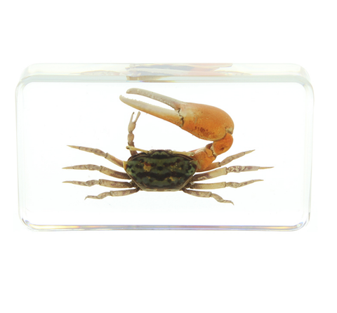 Reddish Fiddler Crab Paperweight In Lucite