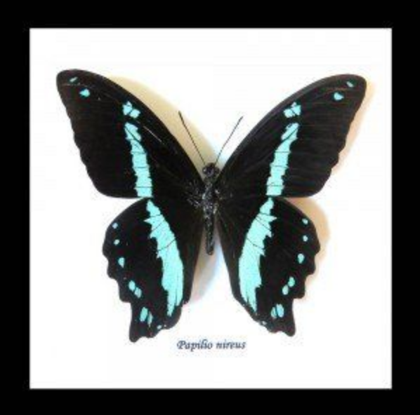 Blue Banded Swallowtail Butterfly Specimen In Black Shadowbox Frame