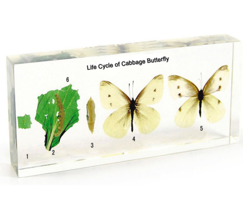 Life Cycle of Cabbage Butterfly In Lucite Large