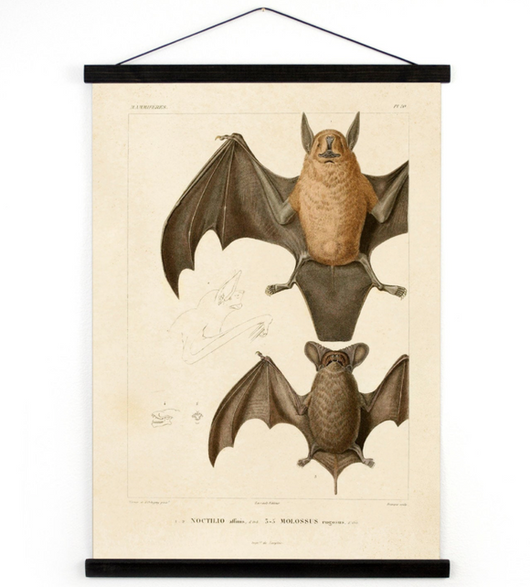 Bat Pull Down Chart Vintage Reproduction. Mexican Freetail Bat Tadarida brasiliensis Molossus rugosus