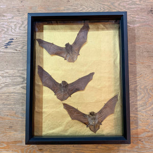 Sweeping Bats Shadowbox
