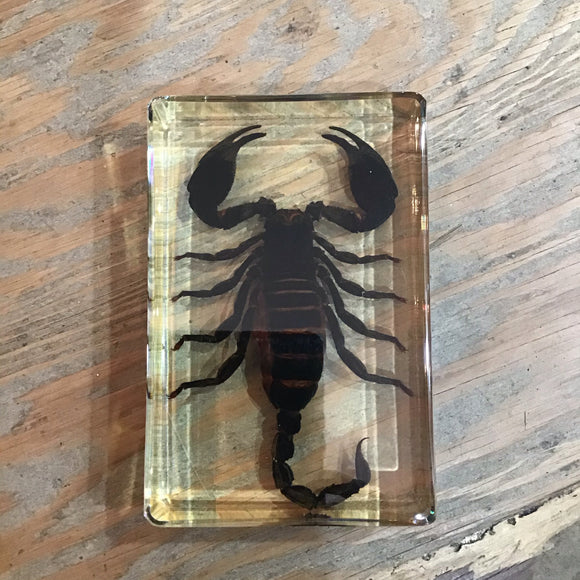 Large Black Scorpion in Lucite