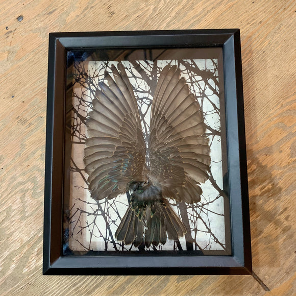 Starling Wings & Tail Shadowbox Diorama Art