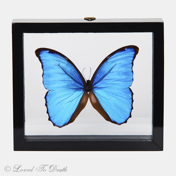 Blue Morpho Butterfly Framed Black