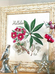 Hellebore Kit (Christmas Rose)