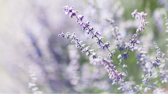 Lavender Castile Soap Recipe