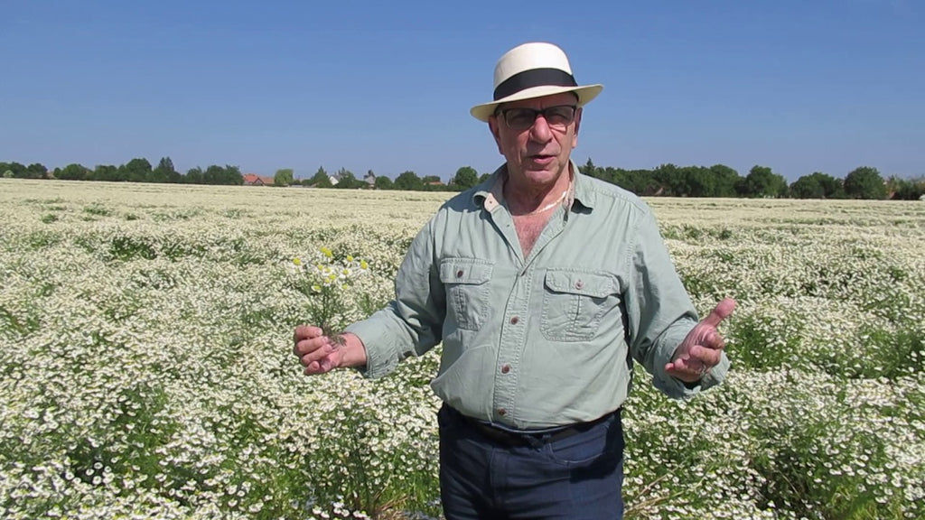 Chamomile Blue Ready For Harvest in Hungary