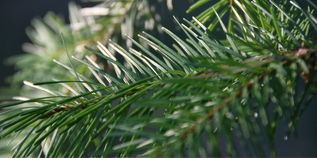 Distilling Douglas Fir - An interesting project for the local environment