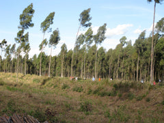 Eucalyptus Citriodora plantation