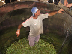 A man inside the retort of the distiller to make certain the leaves and branches are packed tightly